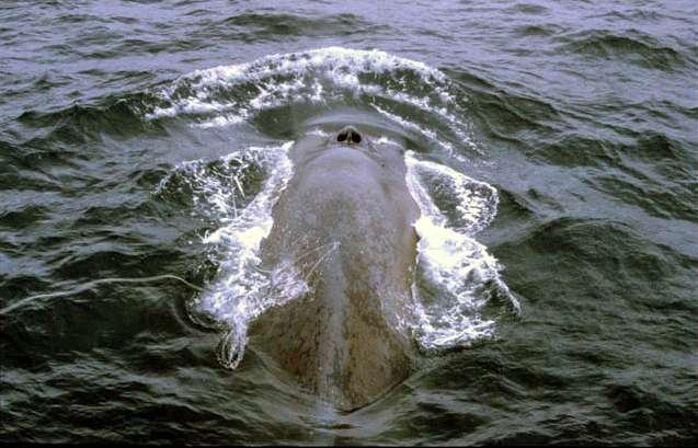 La baleine bleue, amatrice de krill, voit ses populations croître lentement, après les mesures conservatoires prises dans les années 1960. © IWC