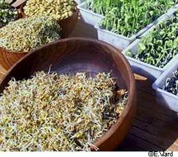 Soupçonnées depuis quelques jours, les graines germées seraient bien la source de l'infection alimentaire par E. coli. © E. Viard