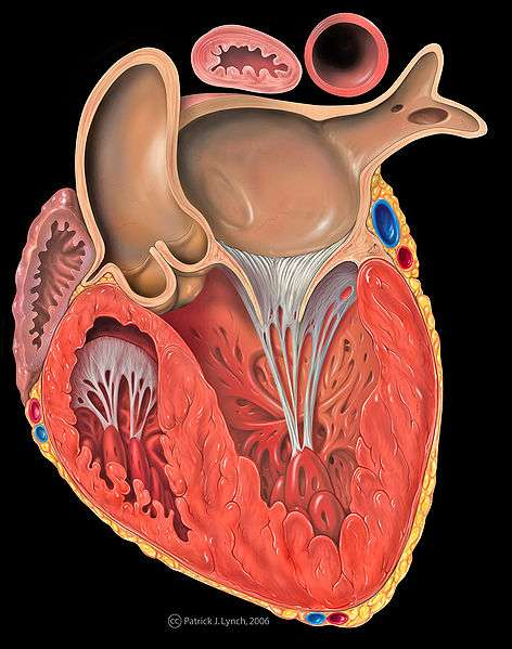 Les cardiopathies touchent l'organe vital du corps humain, le coeur. © Wikimedia Commons