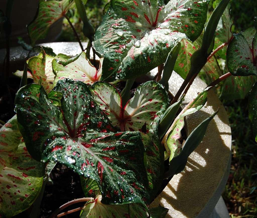 Les plantes d'ombre peuvent vivre sans voir le soleil. © Garlandcannon, Flickr, CC BY-SA 2.0