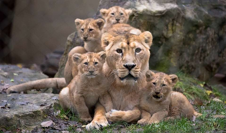 La lionne Sita et ses quatre lionceaux, nés au parc zoologique et botanique de Mulhouse. © Dominique Villiseck