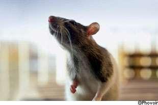 Les tests sur les souris permettent d'aider à trouver de nouveaux traitements. © Phovoir