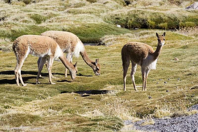 Groupe de vigognes à proximité du lac Chungará, au Chili. © Luca Galuzzi, Wikipedia, cc by sa 2.5