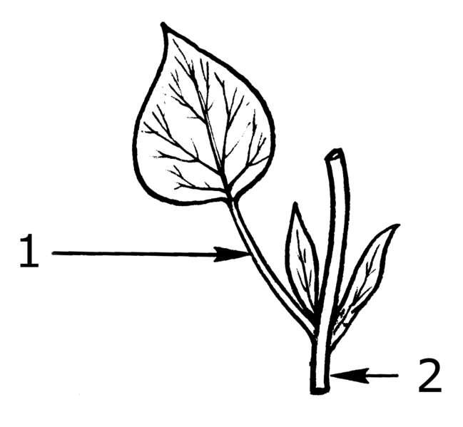 Le pétiole (1) relie la feuille à la tige (2). © Pearson Scott Foresman, Wikimedia domaine public