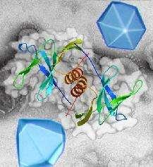 Représentation en rubans de la protéine nsp9, dimérisée au niveau de son unique hélice alpha, et posée sur sa représentation de surface. Deux cristaux de nsp9 sont également montrés sur un fond de coronavirus du SRAS observé en microscopie électronique.