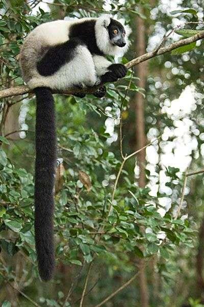 Maki vari noir et blanc (Varecia variegata), un lémurien malgache menacé, comme d'autres, par la destruction des forêts où il vit. Crédit : CI/Sterling Zumbrunn