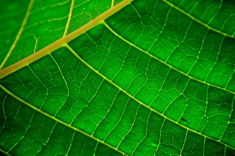 La capacité des cellules végétales à convertir l'énergie solaire en énergie chimique pour faire de la photosynthèse dépasse encore largement celle des cellules photovoltaïques à produire de l'électricité. © Anderson Mancini, CC by 2.0