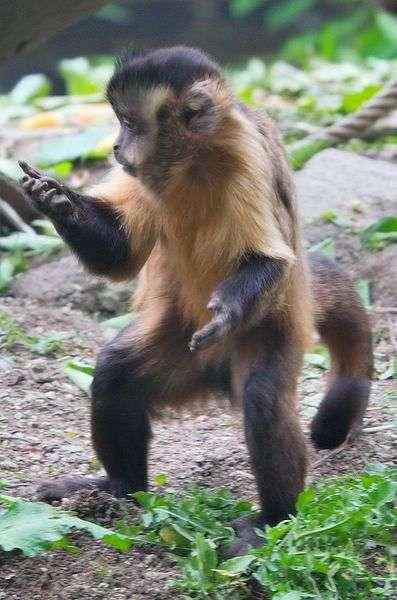 Le sajou noir est un singe de petite taille, il peut peser jusqu'à 4 kg. © Matthias Kabel, GNU FDL Version 1.2