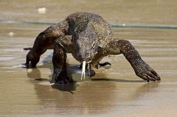 Varanus komodoensis, le mythique dragon de Komodo. Ce spécimen mesure 3 m de long. © Bryan G. Fry