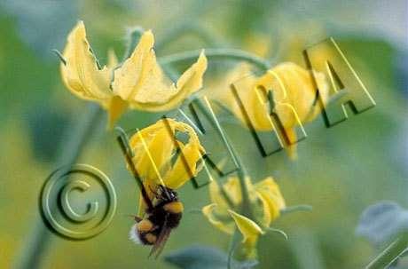 Bombus terrestris vibrant une fleur de tomate pour collecter le pollen. La fleur de tomate possède un cône d'anthères relativement fermé et le pollen ne peut être libéré facilement pour se déposer sur le stigmate. Le vibrage par l'insecte est nécessaire p