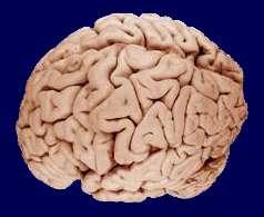 Le cerveau possède des structures cérébrales impliquées dans des fonctions bien précises. © WriterHound / Licence Creative Commons