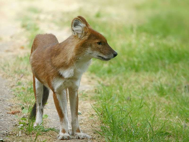 Photo d'un dhole. © Hans Hillewaert, CCA-S A 3.0 Unported license