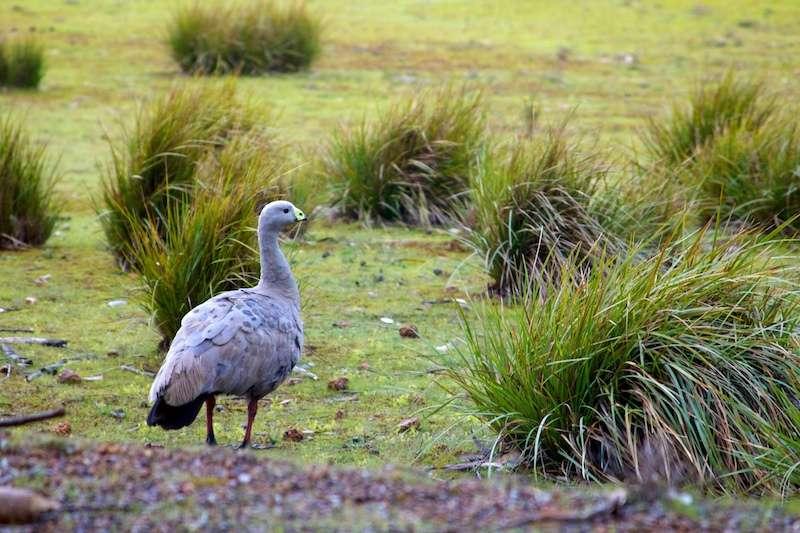 Céréopse cendré dans son milieu naturel dans le sud de l'Australie. © foliosus, Flickr, cc by nc nd 2.0