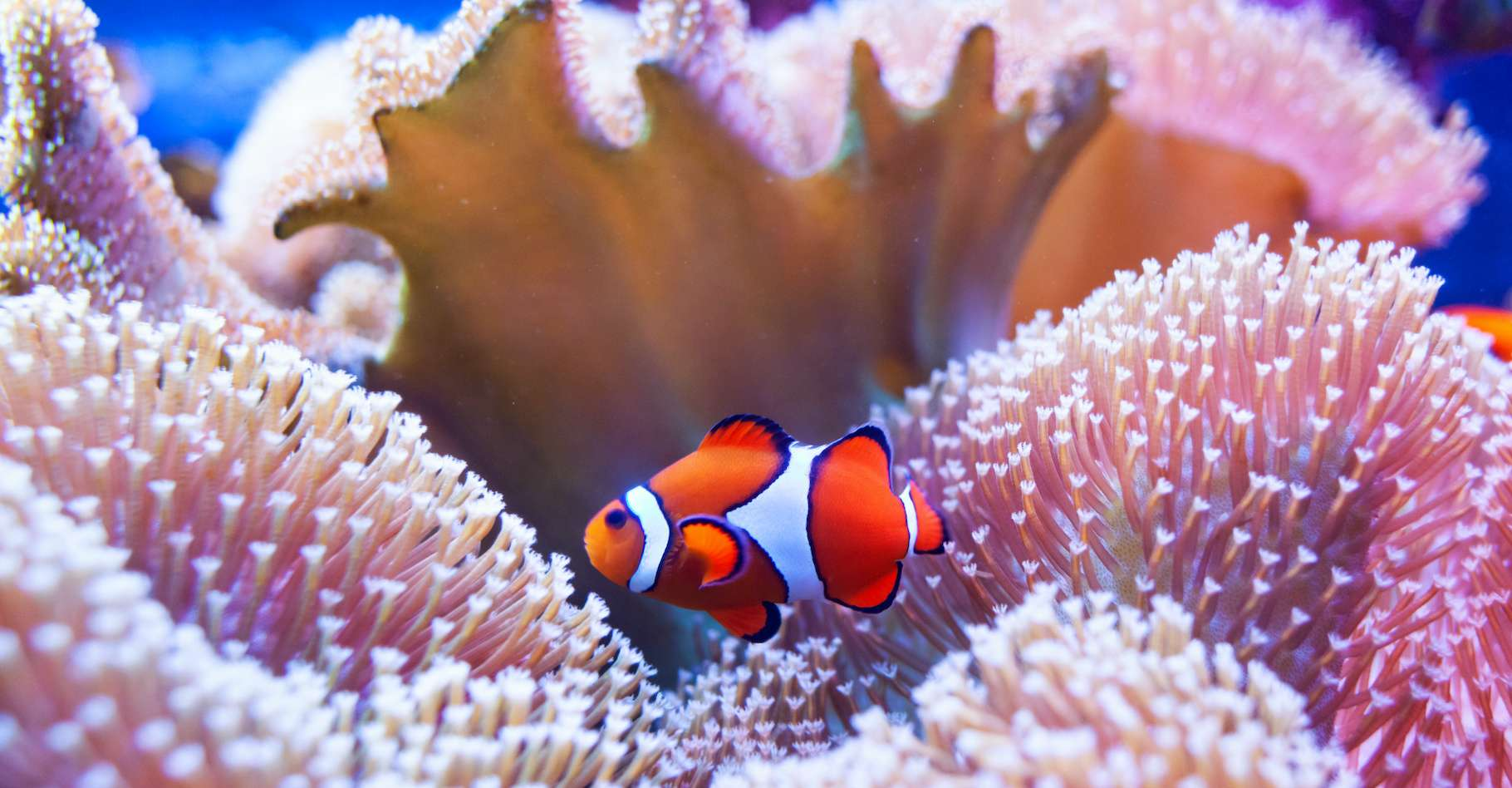 Pour la troisième fois en seulement cinq ans, la Grande barrière de corail connaît en ce moment un épisode de blanchiment majeur. © Antonio Gravante, Adobe Stock