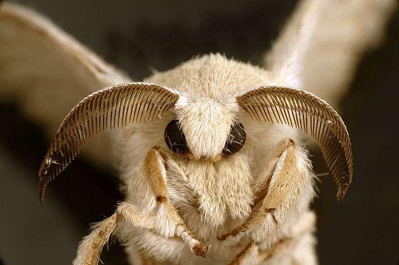 À l'état domestique où le bombyx de mûrier a été réduit, le mâle, plus petit que la femelle, est pourvu d'ailes grises qu'il agite continuellement et d'antennes très développées pour déceler l'odeur émise par la femelle (une phéromone nommée bombykol). Trois jours après la fécondation, la femelle pond entre 300 et 700 œufs. © CSIRO, Wikimedia Commons, cc by sa 3.0