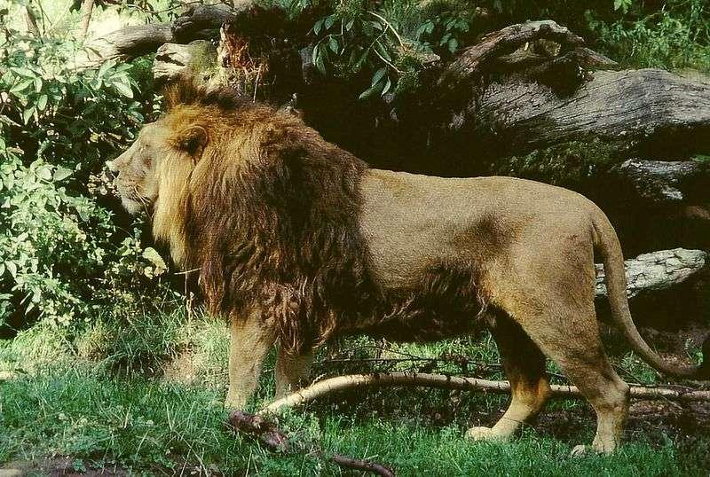 Photo d'un lion d'Asie. © Jochen Ackermann, GNU Free Documentation License, version1.2