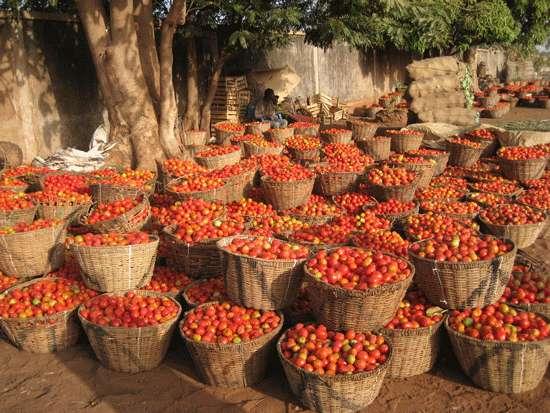 Les mouches blanches sont le vecteur de centaines de virus, et endommagent sérieusement les plantes potagères, les tomates notamment. À l'image, une récolte de tomates, au Burkina Faso. © Marie-Noëlle Favier, IRD