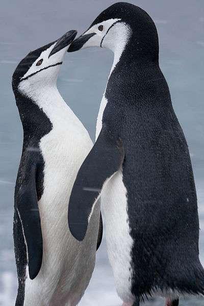Photo de manchots à jugulaire. © Graham, CC by SA 2.0