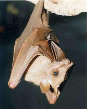 Des chauves-souris réservoir du virus Ebola