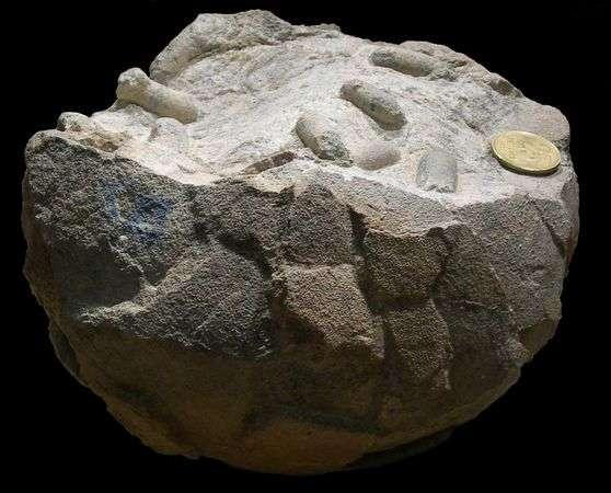 Des cocons de guêpes ont été découverts dans un œuf de dinosaure. © Jorge Genise