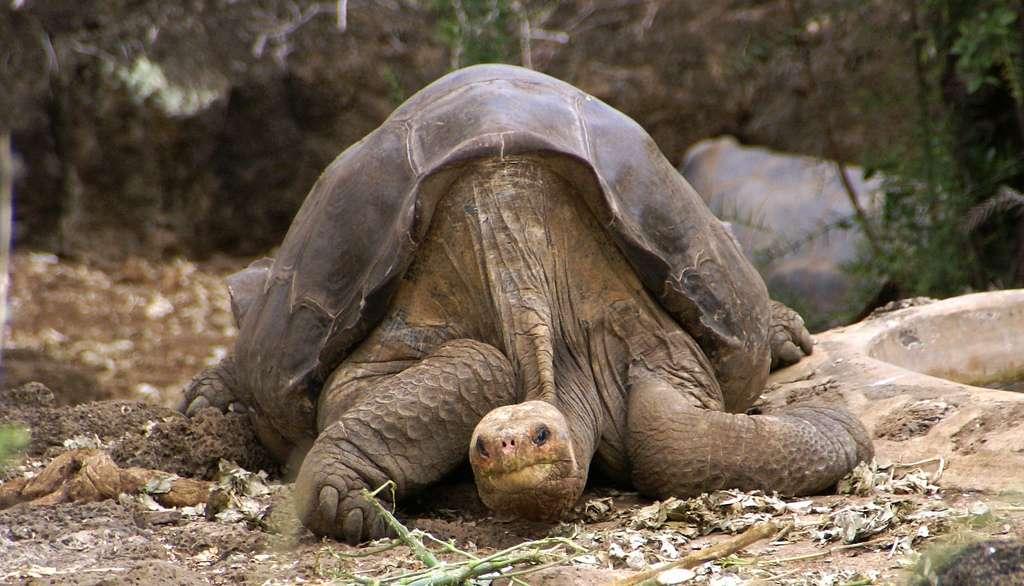La tortue appartient à la même espèce que George, l'emblême des Galápagos décédé en 2012. © putneymark, Flickr