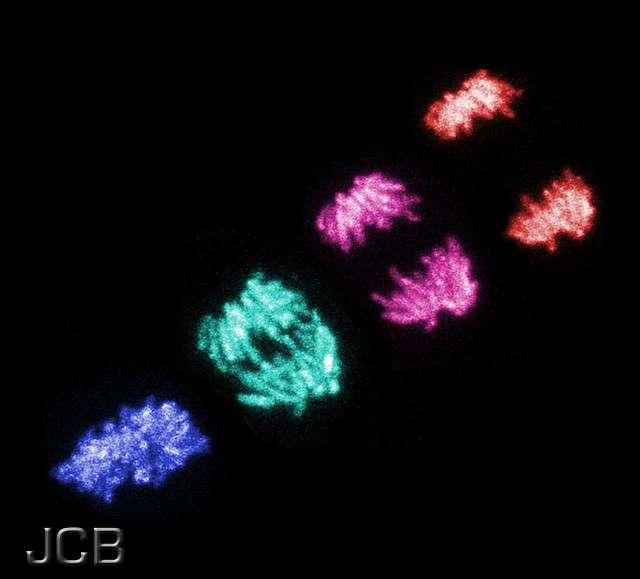 L'endoréduplication est une mitose sans division cellulaire. © The JCB, Flickr, cc by nc sa 2.0
