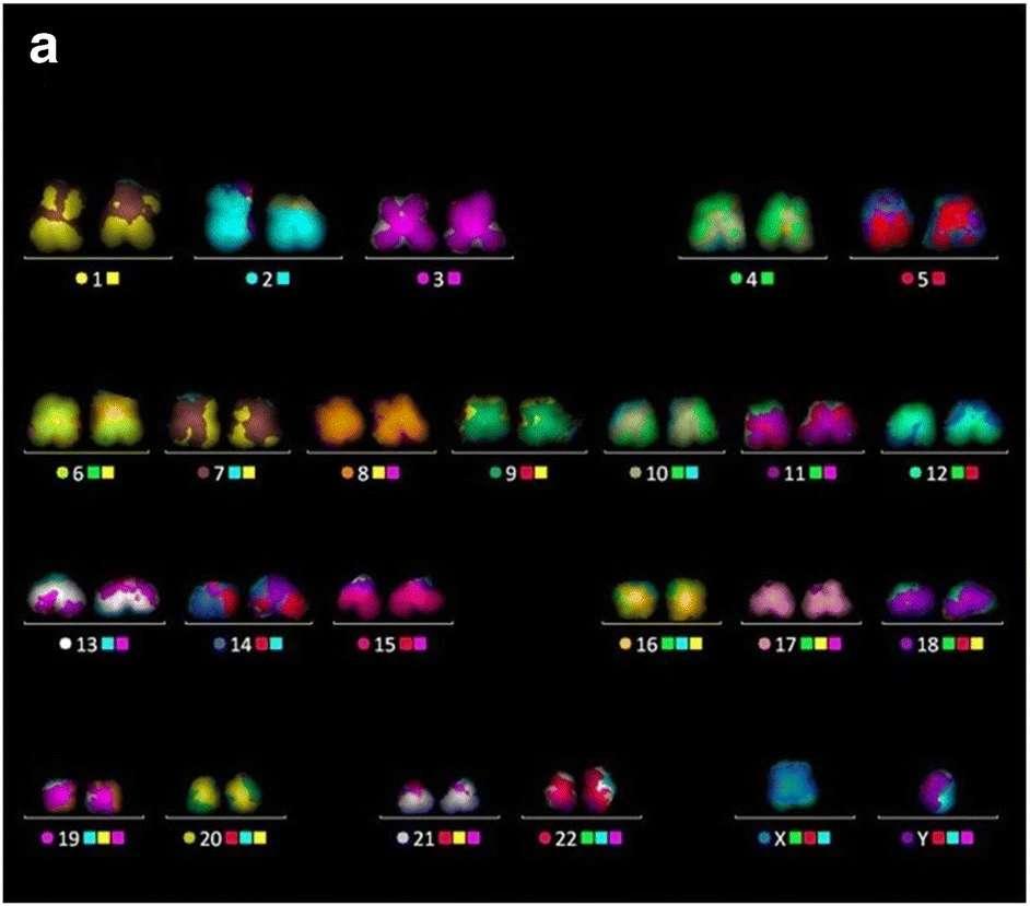Caryotype effectué sur des chromosomes non irradiés de lymphocytes T. © Ian Robinson et al. Chromosome Research, 2021