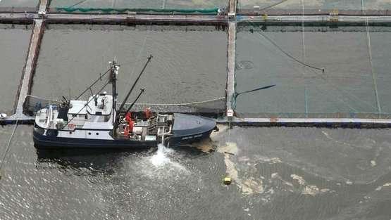 Les saumons d'élevage au Canada ou dans le reste du monde sont 10 fois plus pollués que les poissons sauvages. D'après les recherches, cette pollution provient de la nourriture donnée en quantité industrielle aux saumons d'élevage. Carnivores, les saumons sont rapidement gavés pour les mettre sur le marché le plus vite possible. Pour cela, on leur donne des boulettes riches en protéines et en huile de poissons. Il faut en moyenne 3 kg de cette nourriture pour produire 1 kg de saumon. © Alexandra Morton