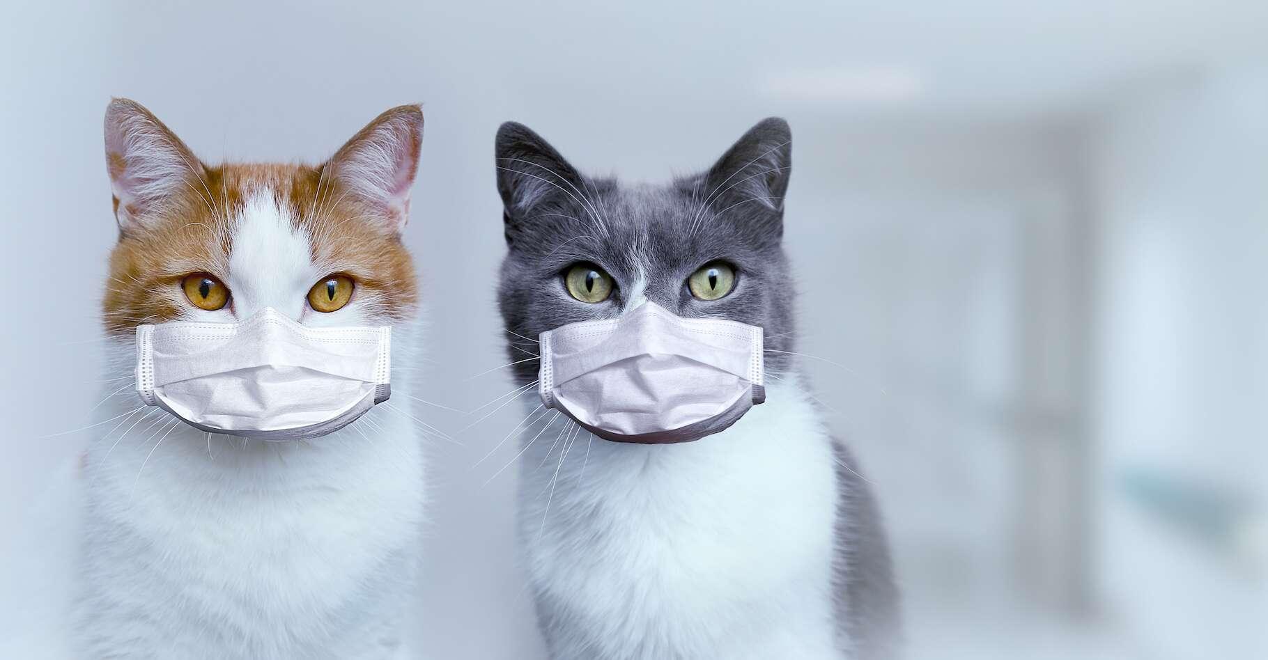 Les chats pourraient être infectés par le coronavirus et le transmettre à d'autres chats. Probablement pas aux humains, mais d'autres études seront nécessaires pour s'en assurer. © Natalya Chumak, Adobe Stock