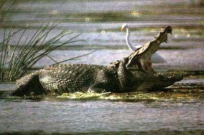 Les crurotarsiens n'ont pas bénéficié de la même chance que les dinosaures... il n'en reste que les crocodiles ! Crédit Commons