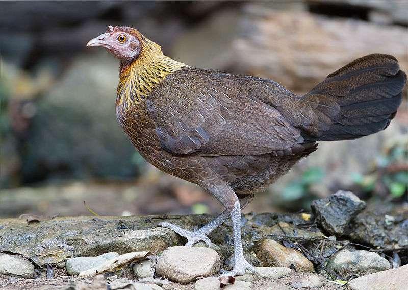 Femelle de poule sauvage Gallus gallus en Thaïlande, au plumage couleur saumon ou perdrix selon les sous-espèces. © JJ Harrison, Wikimedia Commons, cc by sa 3.0