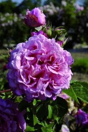 La rose Bienvenue. © Delbard