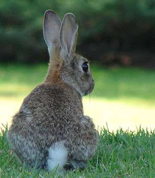 le lapin peut être source de destructions pour vos végétaux © Masteruk GNU Free Documentation License Wikipedia