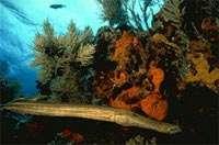 Récifs coralliens : le paradoxe de Darwin expliqué