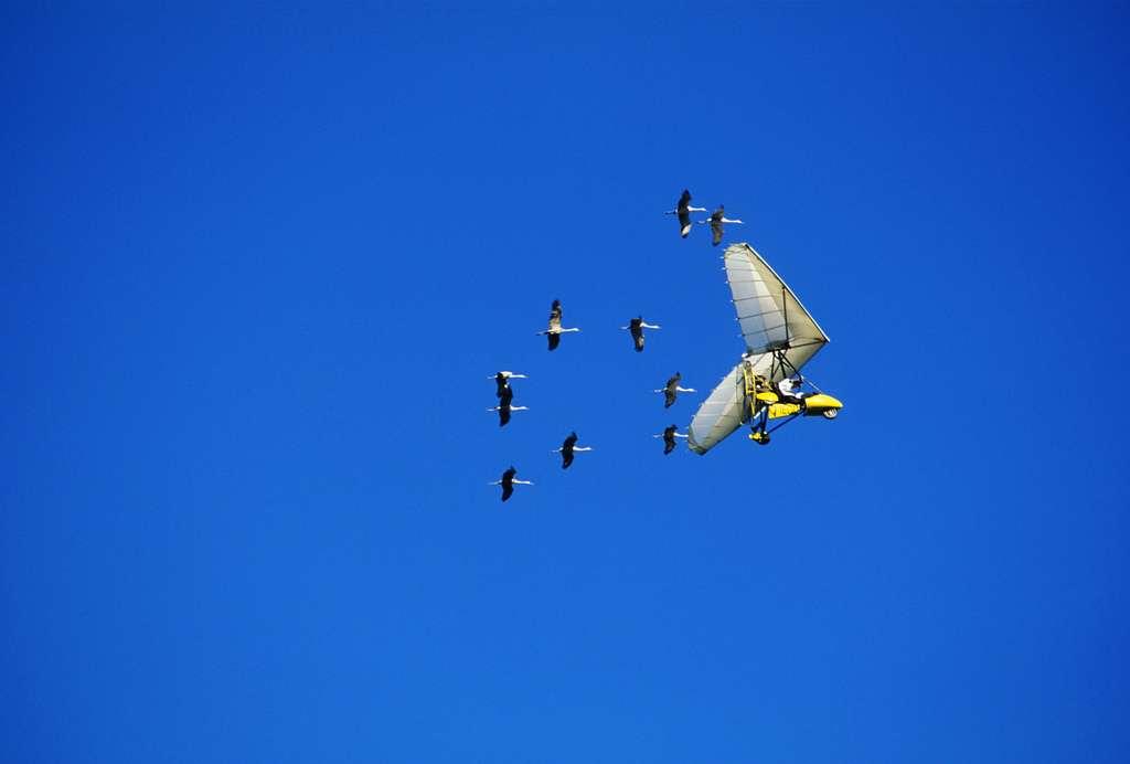 Des scientifiques ont utilisé des ULM pour aider les nouvelles générations de grues à migrer du site de Necedah dans le Wisconsin au refuge faunique de Floride. © Wisconsin Department of Natural Resources, CC BY-ND 2.0