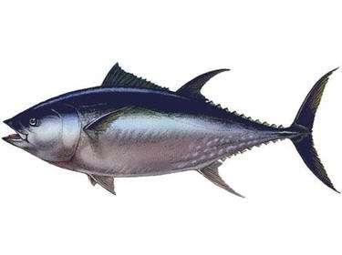 Le thon rouge, un animal poïkilotherme. Crédits DR.