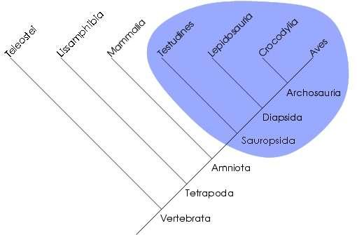 Les groupes d'êtres vivants apparentés forment des clades. Ainsi, le groupe des sauropsides, comprenant les reptiles et les oiseaux, est dit monophylétique dans la vision cladistique. En revanche, les reptiles, qui comportent tous ces groupes à l'exception des oiseaux (aves), sont dits paraphylétiques. © Stanislav Traykov, Wikipédia, cc by sa 3.0