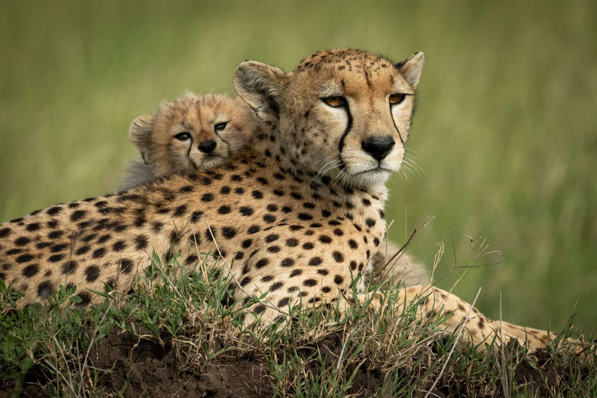 Il resterait moins de 7.000 guépards dans la nature. © Nick Dale, Adobe Stock