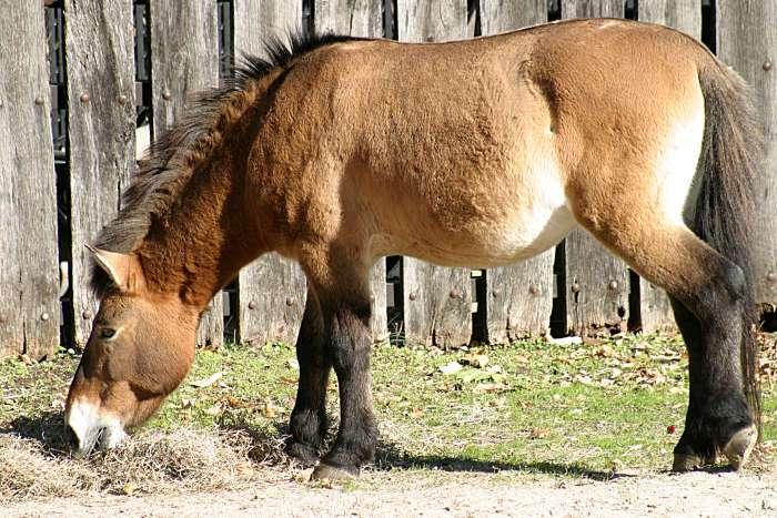 Le cheval de Przewalski est considéré comme étant un ancêtre des chevaux actuels. Il fait l'objet de programmes de réintroduction en Mongolie. © Henryhartley, Wikipedia commons