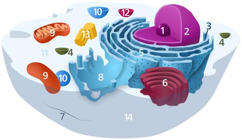 L'autophagie se produit dans le cytoplasme des cellules (11), à l'aide des lysosomes (12). Elle sert à éliminer certaines régions toxiques contenues dans la cellule, voire la conduire à la mort pour éviter de propager une infection. © Kelvinsong, Wikipédia, DP