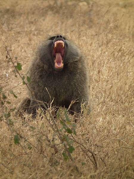 Photo d'un babouin olive. © Nevit Dilmen, CC by-SA 3.0