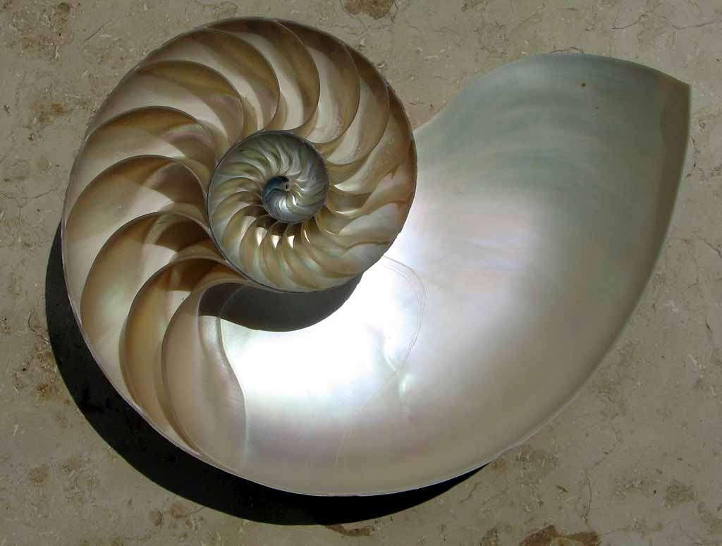 La nacre, bien visible ici, tapisse les chambres d'un nautile (un mollusque céphalopode). Source Commons