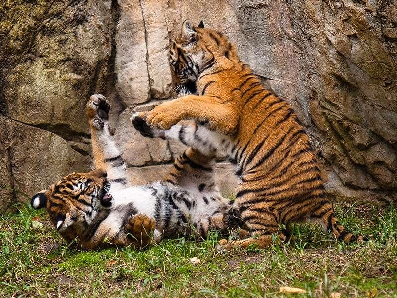 Jeunes tigres de Malaisie en train de jouer. Le tigre tient une place importante dans les mythologies asiatiques. En Inde il est le symbole de la royauté et du pouvoir divin. © Malcolm, Wikipédia, CC BY-SA 2.0