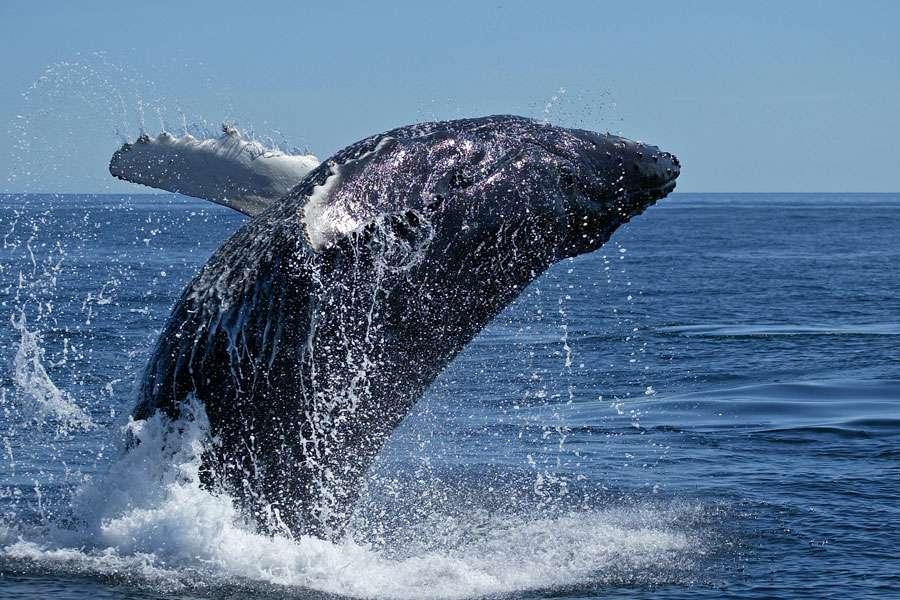 Baleine franche du Groenland. © DR