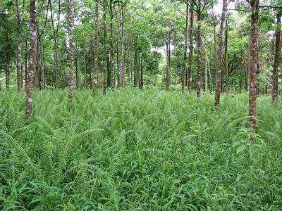 Foresterie : les arbres OGM gagnent du terrain