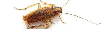 Les tissus nerveux du cafard renferment neuf molécules capables d'éliminer 90% des bactéries. Un nouvel antibiotique pourrait voir le jour suite à ces travaux menés à l'université de Nottingham. © Université de Nottingham
