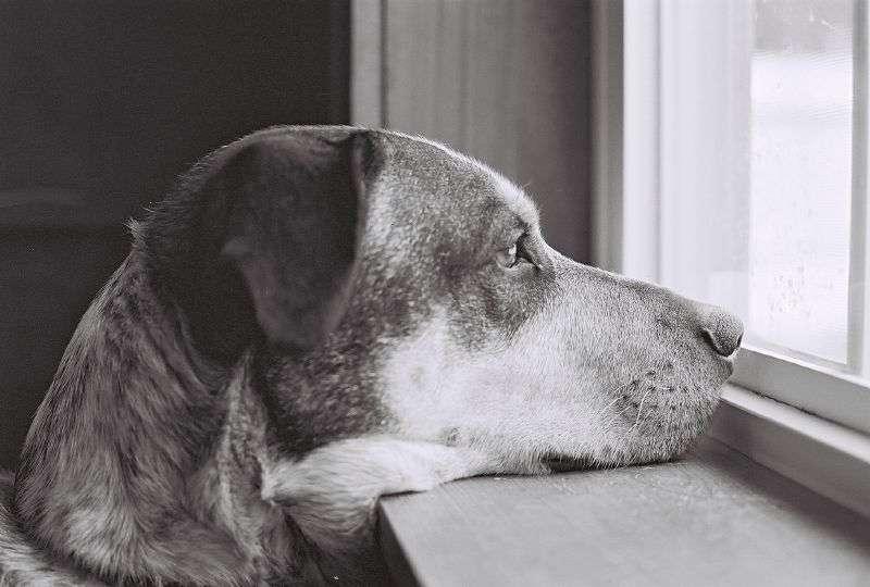Les chiens aussi souffrent d'hémophilie. Ils sont donc parfois utilisés comme modèle pour étudier cette maladie invalidante. © gryhrt, Flickr, cc by nc nd 2.0