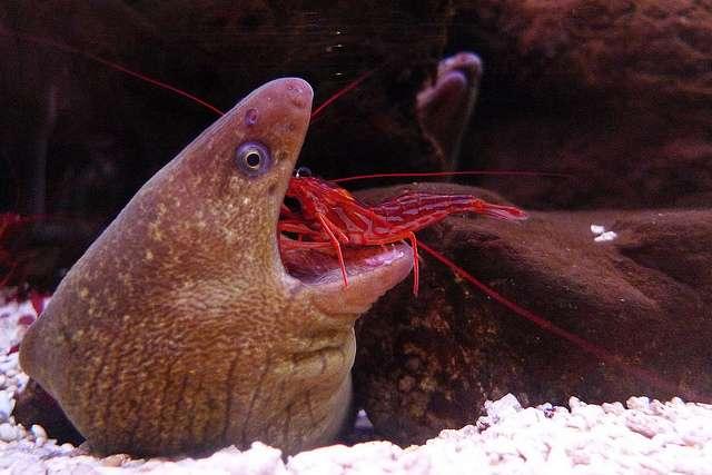 Les crevettes nettoyeuses Lysmata amboinensis sont monogames et tiennent à le rester. © Recoverint Vagabond, Flickr, cc by nc sa 2.0