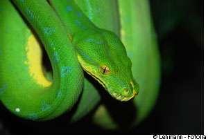 Les serpents venimeux sont souvent très colorés... © Lehmann/Fotolia