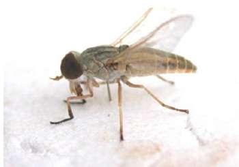 Atylotus agrestis présente en Afrique et en Inde